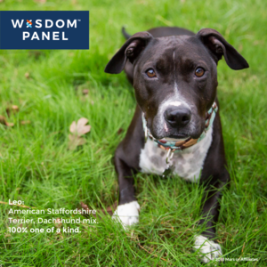 Wisdom Panel Breed Identification